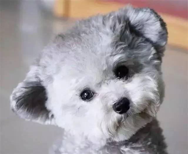 宠物狗的耳朵该如何护理